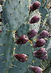 BIG BEND NATIONAL PARK, TEXAS. USA. Detail, fruit of Engelmann prickly pear cactus in rain.