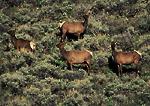 NEVADA. USA. Cow elk (Cervus elaphus) in late spring on slope covered with big sagebrush. Schell Creek Range. Humboldt National Forest. Great Basin.