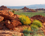 VALLEY OF FIRE STATE PARK, NEVADA. USA. Brittlebrush in bloom onTriassic/Jurassic age Aztec Sandstone.