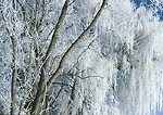 UTAH. USA. Hoar frost on willows (Salix spp.). Cache Valley. Great Basin.