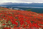 DENALI STATE PARK, ALASKA. USA. Scarlet foliage of bearberry on Kesugi Ridge in autumn. Above the Chulitna River Valley.