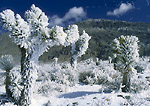 DEATH VALLEY NATIONAL PARK, CALIFORNIA. USA. Rime ice & hoar frost on Joshua trees after rare snowstorm. Racetrack Valley.