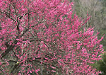 GREAT SMOKY MOUNTAINS NATIONAL PARK, TENNESSEE. USA. Eastern redbud (Cercis canadensis) in bloom in spring. April.