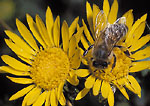 UTAH. USA. Honeybee (Apis mellifera) on flower of gumweed (Grindelia squarrosa).