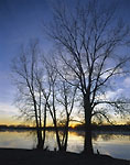 KANSAS, USA. Cottonwoods & cirrus clouds at sunrise in late autumn. Sheridan County State Lake.