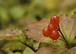 DENALI STATE PARK, ALASKA. USA. Detail, high-bush cranberries (Vibernum edule) in rain in autumn.