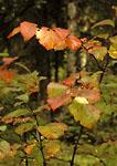 DENALI STATE PARK, ALASKA. USA. High-bush cranberry (Vibernum edule) in autumn.