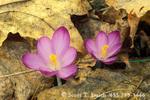 UTAH. USA. Flowers of crocus (Crocus spp.) poke through old fallen leave in early spring.