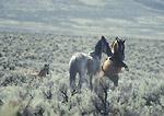 NEVADA. USA. Wild horses (stallions) fighting. Foothills of Desatoya Range. Great Basin.