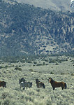 NEVADA. USA. Wild horses. Foothills of Desatoya Range. Great Basin.