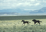 NEVADA. USA. Wild horses in the Ralston Valley. Great Basin.