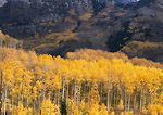 COLORADO. USA. Aspen in autumn at McClure Pass. White River National Forest.