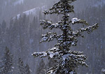 UTAH. USA. Young douglas fir (Pseudotsuga menziesii) in snow shower. Bear River Range. Wasatch-Cache National Forest.