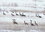 COLORADO, USA. Canada geese (Branta canadensis) in March snow near Craig.