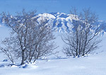 UTAH. USA. Maple trees in deep snow on ridge in Wellsville Mountains. Fog-filled Cache Valley & Bear River Range in distance. Wasatch-Cache National Forest.