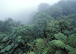MONTEVERDE PRESERVE, COSTA RICA. Central America. Fog & forest canopy on Continental Divide. Monteverde Cloud Forest.