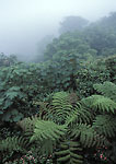 MONTEVERDE PRESERVE, COSTA RICA. Central America. Fog & forest canopy on Continental Divide. Monteverde Cloud Forest.