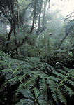 MONTEVERDE PRESERVE, COSTA RICA. Central America. Wet ferns below dripping forest canopy in Monteverde Cloud Forest.