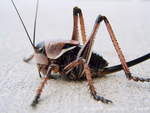 UTAH. USA. Mormon Cricket (Anabrus simplex). Great Salt Lake Desert. Great Basin.