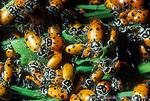 NEVADA. USA. Convergent ladybugs (Hippodamia convergens) swarm in vegetation during cold weather. Monitor Range. Humboldt-Toiyabe National Forest.