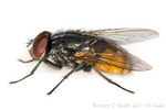 Face fly (Musca autumnalis).