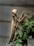 UTAH. USA. California mantis (Stagmomantis californica).