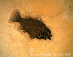 WYOMING, USA. Fossil fish (perch) (Pricacara serrata). 55-50 million-year-old Green River Formation. Specimen in Ulrich's Fossil Fish Gallery & Preparatory near Fossil Butte National Monument.