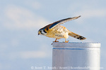 FARMINGTON BAY WATERFOWL MANAGEMENT AREA, UTAH. USA. Male American kestrel (Falco sparverius) launches into flight from gatepost. Along shore of Great Salt Lake. Great Basin.