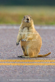 WIND CAVE NATIONAL PARK, SOUTH DAKOTA. USA. Black-tailed prairie dog (Cynomys ludovicianus) on double yellow line of park road. Black Hills.
