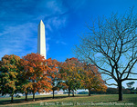 WASHINGTON, D.C. USA. Washington Monument rises above maple trees in autumn. National Mall.