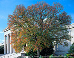 WASHINGTON, D.C. USA. White oak tree (Quercus alba) showing early autumn color outside National Gallery of Art. National Mall.