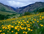 UTAH. USA. Mule's ears (Wyethia amplexicaulis) & lupine (Lupinus spp.) on the foothills below cloud-shrouded Cherry Peak. Bear River Range. Uinta-Wasatch-Cache National Forest.