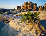 CANYONLANDS NATIONAL PARK, UTAH. USA. Pinyon pine & the spires of The Doll House at sunrise. Maze District.