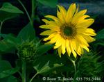 UTAH. USA. Sunflower (Helianthus annuus) along rural fencerow. Cache Valley.