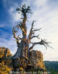UTAH. USA. Jardine Juniper. 3200-year-old (age disputed) Rocky Mountain Juniper (Juniperus scopulorum). Bear River Range. Wasatch-Cache National Forest.