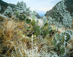 BIG BEND NATIONAL PARK, TEXAS. USA. Rime ice on cactus & pines. The Basin, Chisos Mountains.