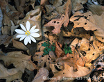 SHENANDOAH NATIONAL PARK, VIRGINIA. USA. Bloodroot (Sanguinaria canadensis) & oak leaves. Forest floor in early spring.