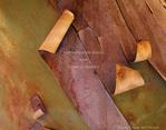 BIG BEND NATIONAL PARK, TEXAS. USA. Detail, bark on trunk of Texas madrone (Arbutus texana).