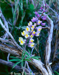 JARBIDGE WILDERNESS, NEVADA. USA. Detail, spur lupine (Lupinus arbustus) & sagebrush (Artemesia tridentata). Jarbidge Mountains. Humboldt National Forest.