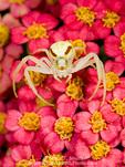 Goldenrod spider (Misumena vatia) on yarrow flowers. UTAH. USA.