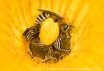UTAH. USA. At least 6 squash bees (Peponapis pruinosa) on squash blossom.
