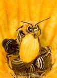 UTAH. USA. Squash bees (Peponapis pruinosa) on squash blossom.