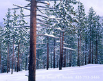 LAKE TAHOE STATE PARK, NEVADA. USA. Fresh snow on ponderosa pines (Pinus ponderosa). Carson Range.