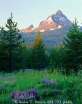 OREGON. USA. Mount Washington at sunrise above conifers, lupine, & grasses. Cascade Mountains. Deschutes National Forest.