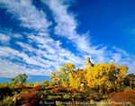 UTAH. USA. Cottonwoods (Populus fremontii), squawbush (Rhus trilobata), & rabbitbrush (Chrysothamnus nauseosus) in autumn below Gunnison Butte & cirrocumulus undulatus clouds. Green River flood plain.