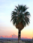 NEVADA. USA. California fanpalm (Washingtonia filifera) at sunset. Moapa Peak in the Mormon Mountains in the distance. LDS Ranch. Moapa Valley. Mojave Desert.