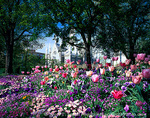 SALT LAKE CITY, UTAH. USA. Flowers in Temple Square. Assembly Hall in distance. Wasatch Front.
