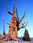 CALIFORNIA. USA. Ancient bristlecone pine snag (Pinus longaeva) & younger living tree. Patriarch Grove. White Mountains. Inyo National Forest.