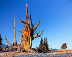 CALIFORNIA. USA. Ancient bristlecone pine snag (Pinus longaeva) & younger living trees. Patriarch Grove. White Mountains. Inyo National Forest.