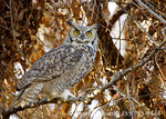 UTAH. USA. Great horned owl (Bubo virginianus) in willow tree in late autumn. Cache Valley.